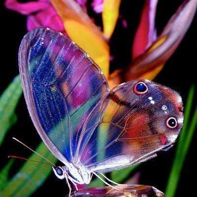 a papillon
