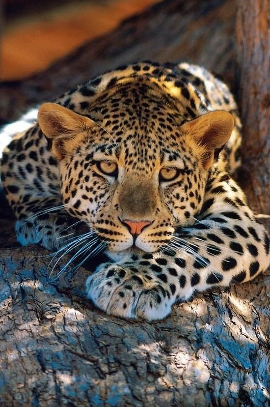 léopards77